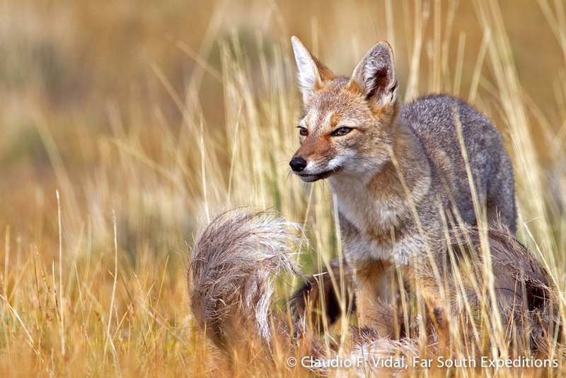 South American Gray Fox or Chilla © Claudio F. Vidal, Far South Expeditions