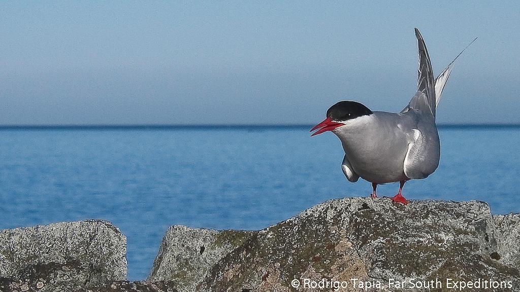 Antarctic Tern (Sterna vittata) © Rodrigo Tapia, Far South Exp