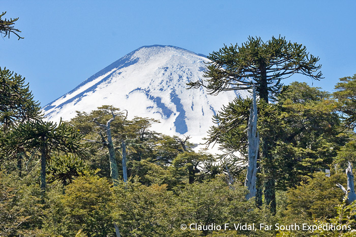 The magnificent cone of the active Llaima Volcano with Araucaria trees in the foreground, Conguillio National Park, Chile © Claudio F. Vidal, Far South Expeditions