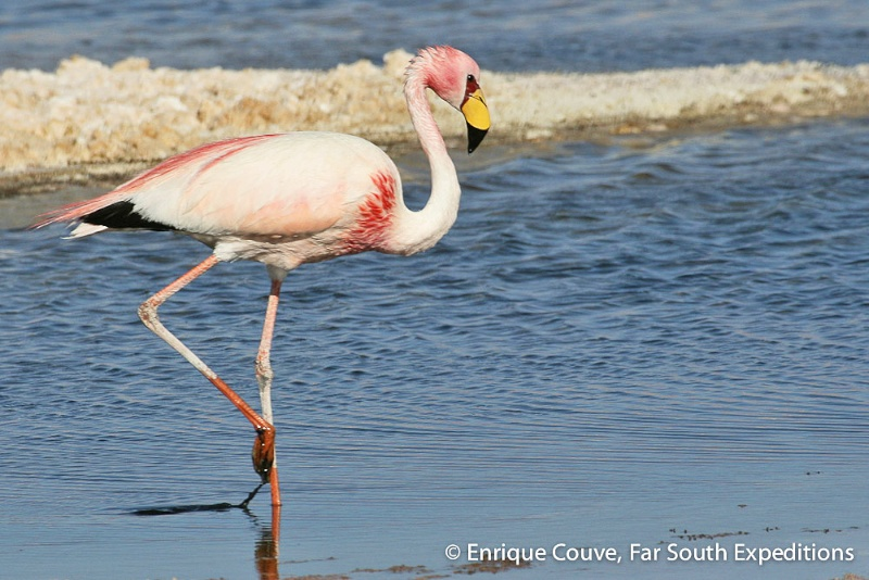 Puna Flamingo, Phoenicoparrus jamesi © Enrique Couve, Far South Expeditions