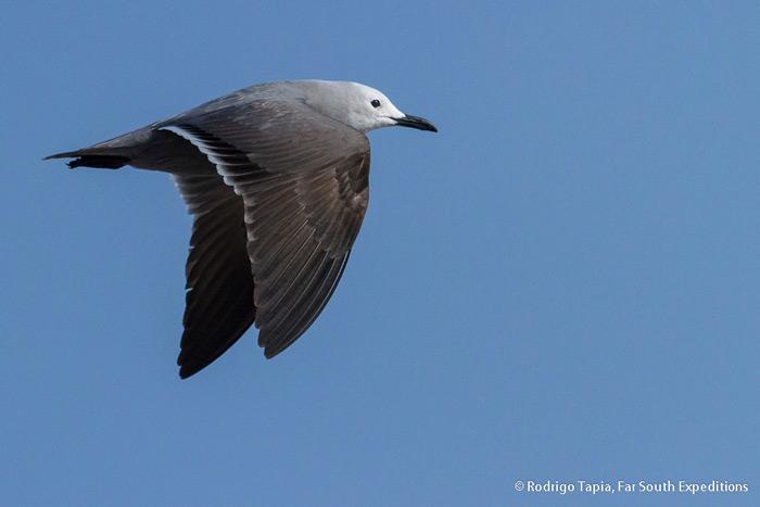 Gray Gull, <em>Leucophaeus modestus</em>, Chile © Rodrigo Tapia, Far South Exp