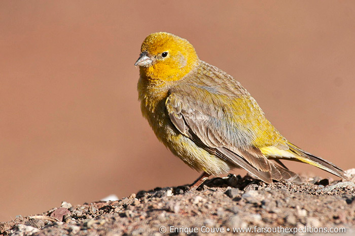 An striking emberizid of the High Andes, Greater Yellow-Finch (male), Sicalis auriventris © Far South Expeditions
