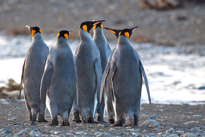 King Penguins, Aptenodytes patagonicus © Claudio F. Vidal, Far South Expeditions