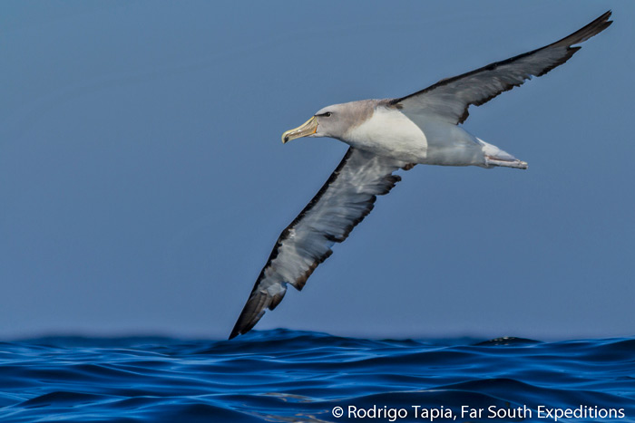 Salvin's Albatross, Thalassarche salvini, one of the commonest tubenoses off Chile © Rodrigo Tapia, Far South Expeditions