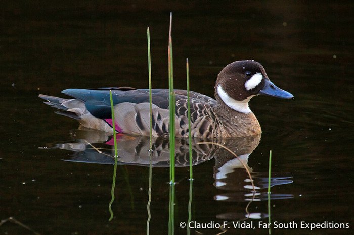 Spectacled Duck (Speculanas specularis) © Claudio F. Vidal, Far South Expeditions