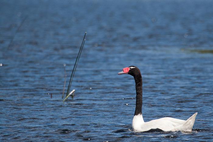 Black-necked Swan (Cygnus melancoryphus) © Claudio F. Vidal, Far South Exp