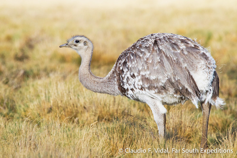 Lesser or Darwin's Rhea (Rhea pennata), Otway Sound, Chile © Claudio F. Vidal, Far South Expeditions
