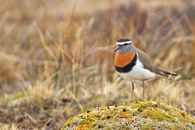 Rufous-chested Dotterel (Charadrius modestus), one of the super-waders of Patagonia and Tierra del Fuego © Claudio F. Vidal, Far South Expeditions