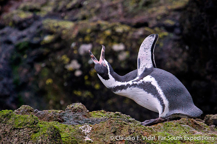 Humboldt Penguin, Spheniscus humboldti, Cachagua Island, central Chile © Claudio F. Vidal, Far South Expeditions