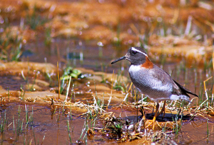 Diameded Sandpiper-Plover, Phegornis mitchelli, one of the main targets of our trip to the Andes of central Chile © Enrique Couve, Far South Expeditions