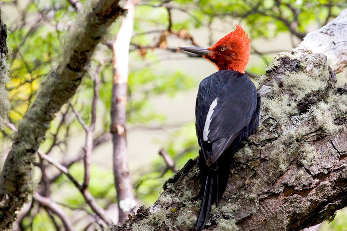 Magellanic Woodpecker, Campephilus magellanicus, one of the specialties of the Patagonian woodlands © Claudio F. Vidal, Far South Expeditions