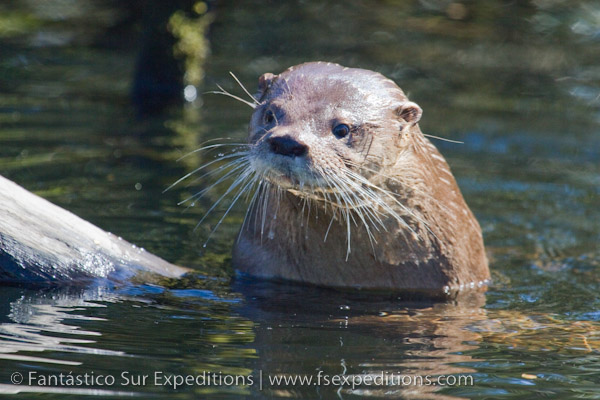 images/stories/Blog/River_Otter/river_otter_lontra_provocax_chiloe-2.jpg
