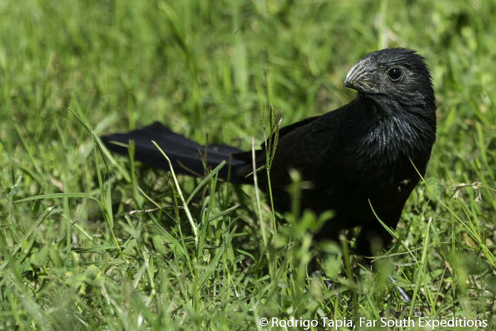 Groove-billed Ani, Crotophaga sulcirostris © Rodrigo Tapia, Far South Expeditions