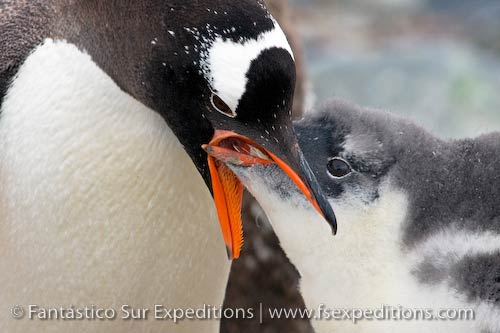 Gentoo Penguin and chick, Cuverville Island, Antarctica © Fantástico Sur Expeditions