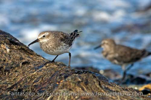 White-rumped Sandpiper © Fantástico Sur Expeditions