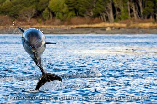 Peale's Dolphin, Straits of Magellan, Chile © Fantástico Sur Expeditions