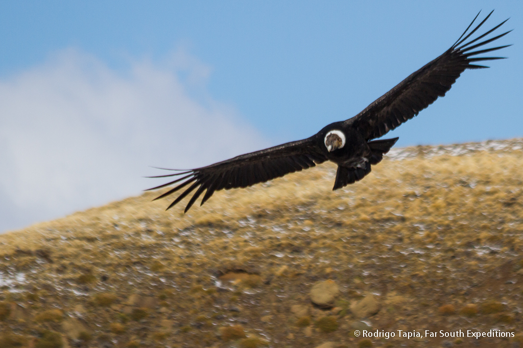 images/stories/Blog_2/andean condor.jpg