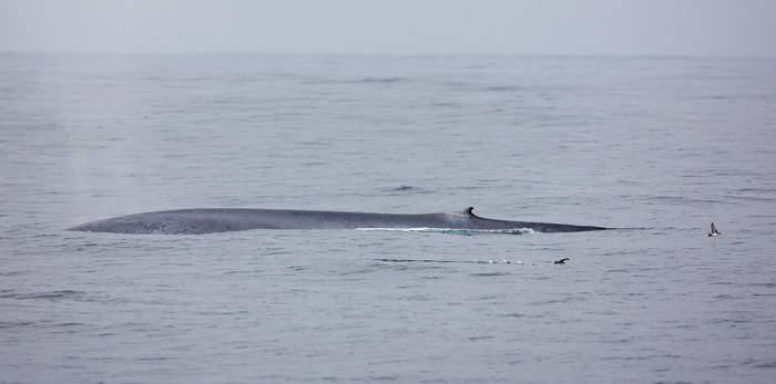 Blue Whale, Corcovado Gulf, off Chiloe Island © Jordi Plana, Far South Expeditions