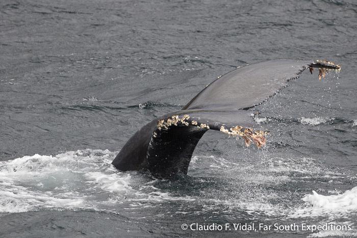 Humpback Whale (Megaptera novaegliae), Magellan Straits, Chile © Claudio F. Vidal, Far South Exp
