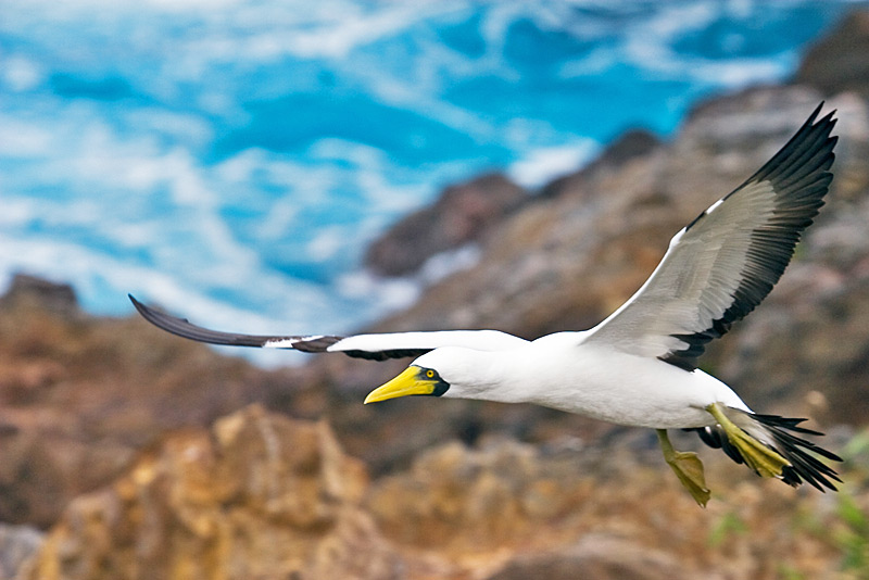 The Masked Booby (Sula dactylatra), locally known as Kena, still nests in the volcanic islets surrounding Rapa Nui © Claudio F. Vidal, Far South Expeditions