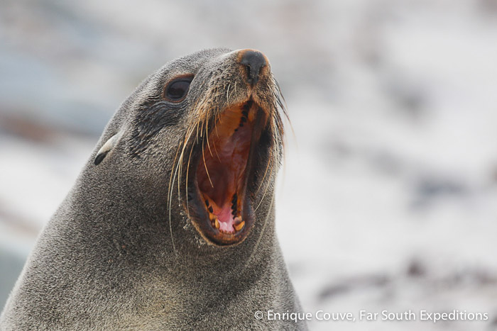Southern Fur Seal (Arctocephalus australis), Falkland Islands © Enrique Couve, Far South Expeditions