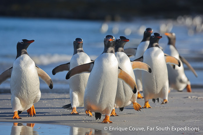 Gentoo Penguins (Pygoscelis papua), Sea Lion Island © Enrique Couve, Far South Expeditions