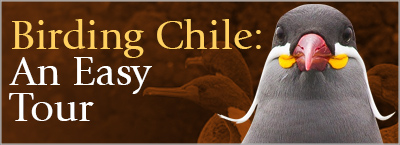 Birding Chile - An Easy Tour, Bird Chile at a Relaxed Pace