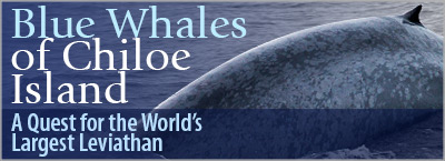 Blue Whales of Chiloe Island, A Quest for the World's Largest Leviathan