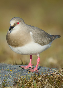 Magellanic Plover, a Shorebird on a Class of its Own © Photo J.P. Rider