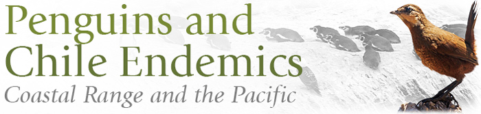 Penguins and Chile Endemics, Coastal Range and the Pacific