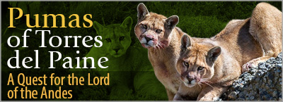 Pumas of Torres del Paine - The Ultimate Puma-tracking trip in Patagonia