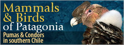 Mammals and Birds of Patagonia, Pumas & Condors in southern Chile