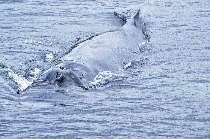 Humpback Whale, Megaptera novaengliae © Tamara Albarran