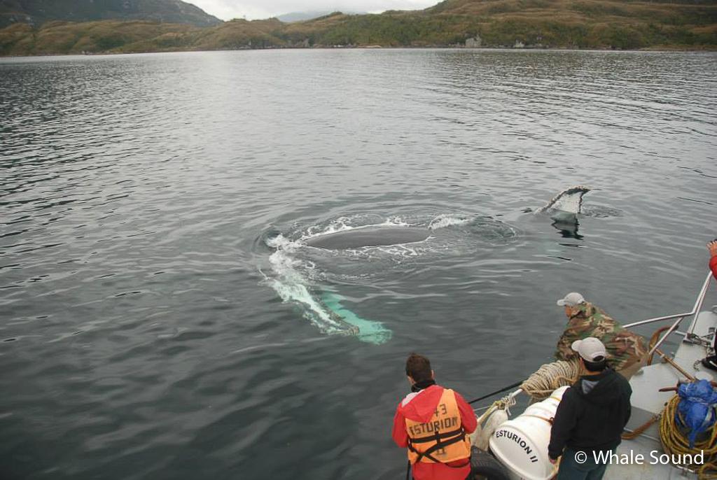 Humpback Whale (Megaptera novaegliae), Magellan Straits, Chile © Whale Sound