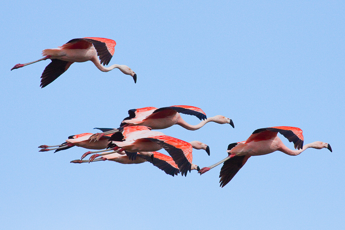 Chilean Flamingo, Phoenicopterus chilensis © Claudio F. Vidal, Far South Expeditions
