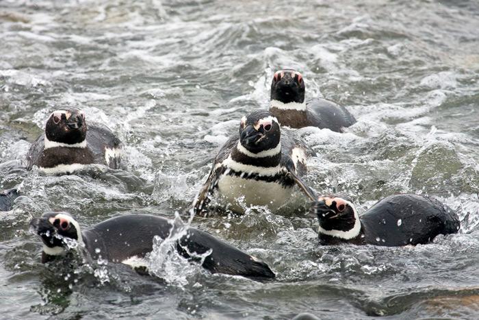 Magellanic penguins, Spheniscus magellanicus, Magdalena Island, Straits of Magellan, Chile © Claudio F. Vidal, Far South Expeditions