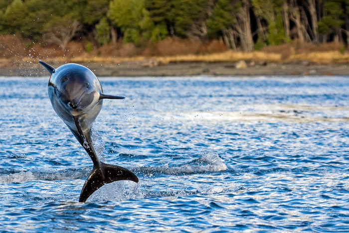 Peale's Dolphin, Lagenorhynchus australis, Straits of Magellan, Chile © Claudio F. Vidal, Far South Expeditions