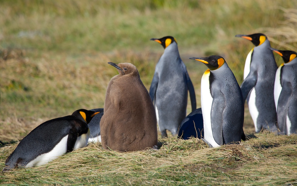 King penguins (Aptenodytes patagonica) at the small breeding colony of Bahia Inutil (Useless Bay), Tierra del Fuego, Chile © Enrique Couve, Far South Expeditions
