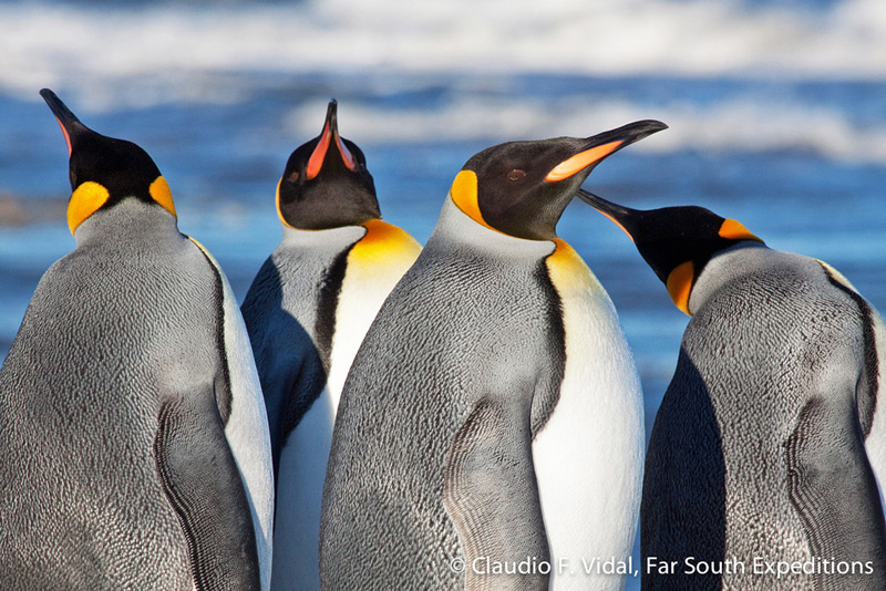 King penguins (Aptenodytes patagonica) at the small breeding colony of Bahia Inutil (Useless Bay), Tierra del Fuego, Chile © Claudio F. Vidal, Far South Expeditions