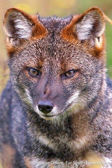 Darwin's Fox, Lycalopex fulvipes, Chiloe Island, Chile © Enrique Couve, Far South Exp