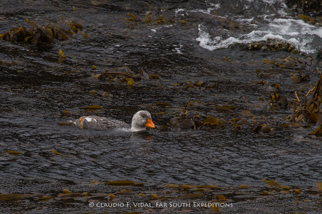 Flightless Steamer Duck (Tachyeres pteneres), Beagle Channel © Claudio F. Vidal, Far South Exp