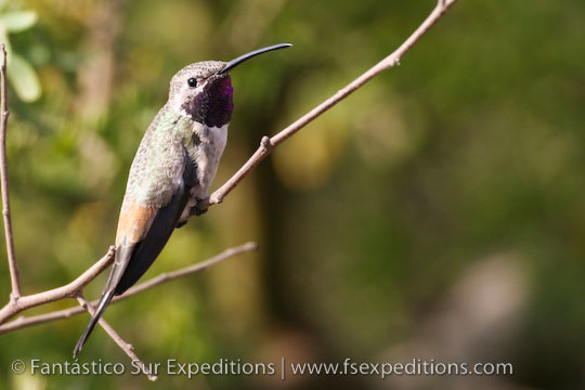 Oasis Hummingbird © Fantástico Sur Expeditions