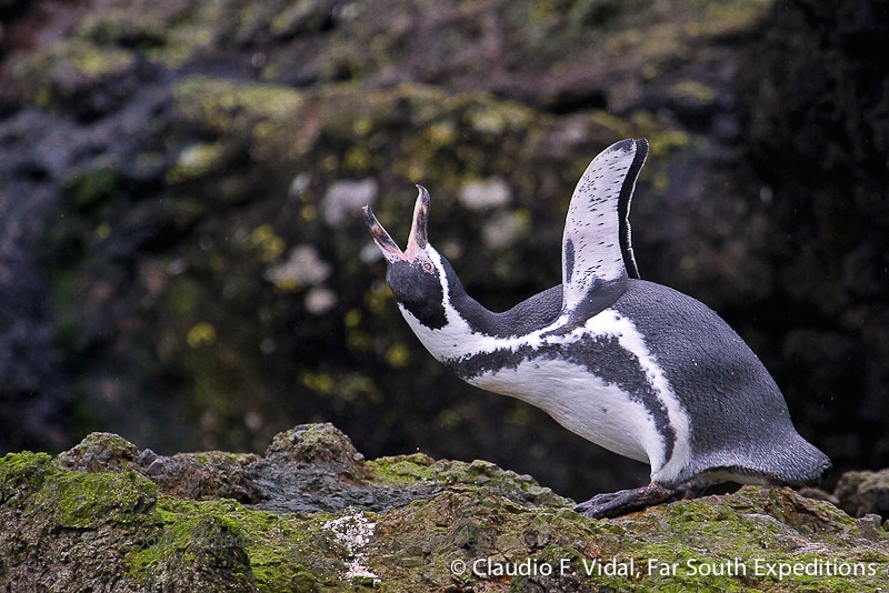 Humboldt Penguin, Spheniscus humboldti © Claudio F. Vidal, Far South Exp