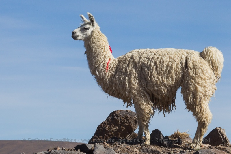 The Lama, the domesticated descendant of the Guanaco, near Parinacota, northern Chile © Claudio F. Vidal, Far South Expeditions