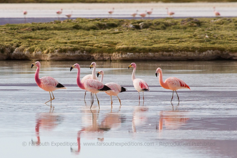 Surire is one of the few places where reliably you can photograph the three flamingo species. Andean, Chilean and the rare Puna Flamingo © Claudio F. Vidal, Far South Exp
