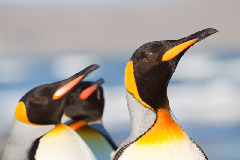 King Penguins, one of the highlights of our 'Patagonia Wildlife Adventures' © Far South Expeditions