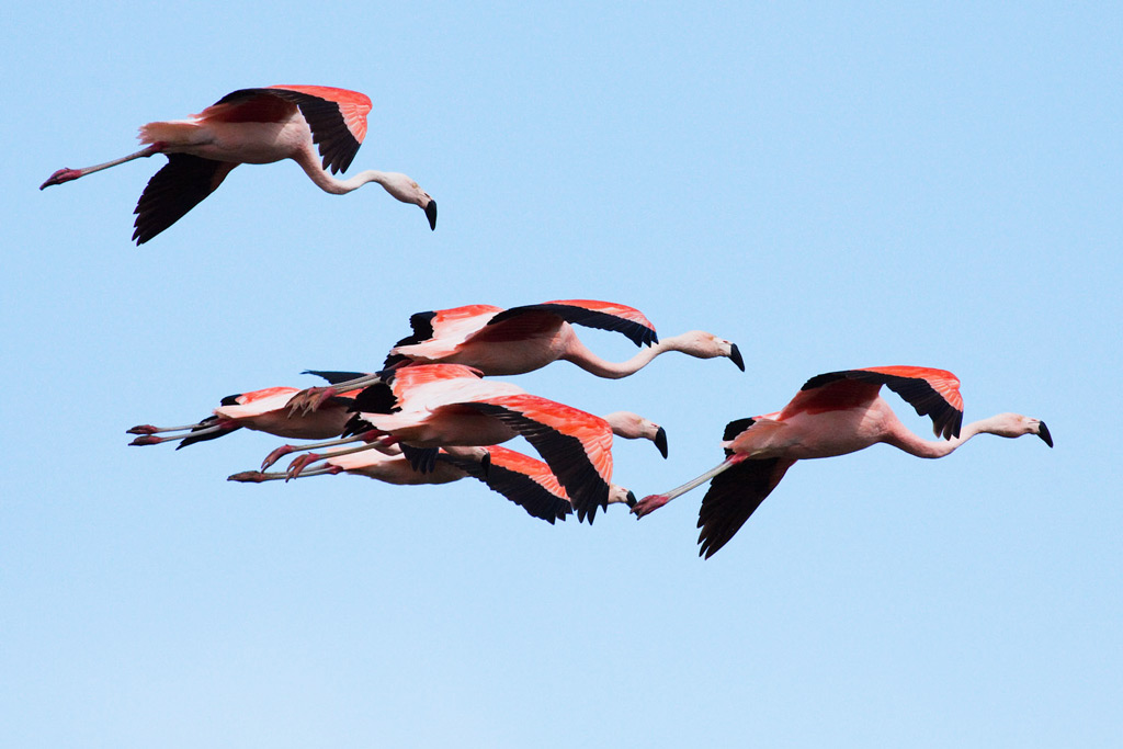 Chilean Flamingos are possible to see at Laguna Nimez Nature Reserve © Claudio F. Vidal, Far South Exp