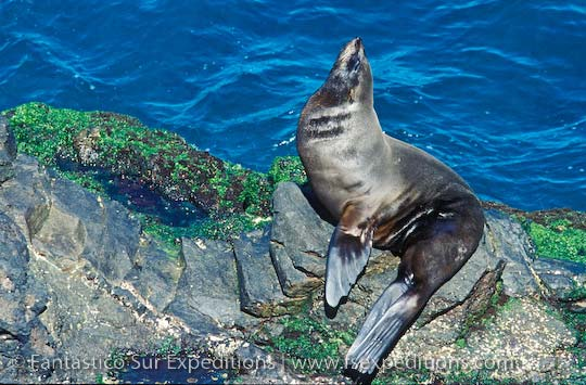 Juan Fernandez Fur Seal, Robinson Crusoe Island, Chile © Fantástico Sur Expeditions