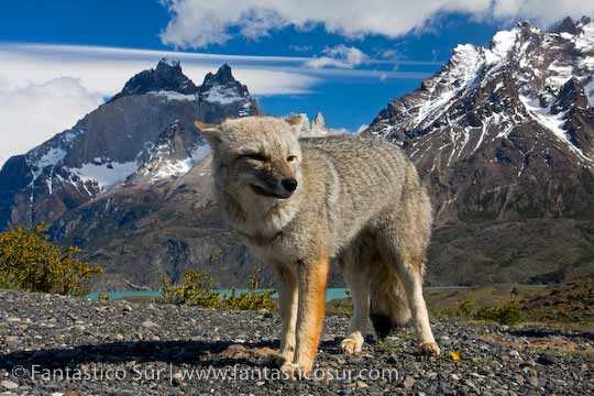 A very tame Chilla Fox against the magnificent mountain backdrop of Torres del Paine, Chile © Fantástico Sur Expeditions