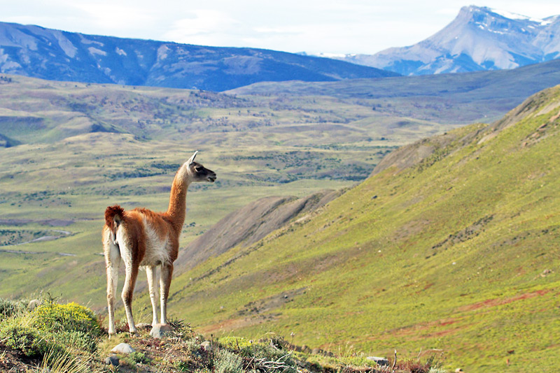The ubiquitous Guanaco (Lama Guanicoe), the ancestor of llamas, will be a common species to photograph during this trip, Torres del Paine National Park, Chilean Patagonia © Claudio F. Vidal, Far South Expeditions
